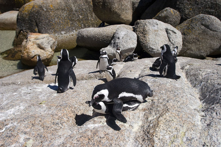 High angle view of penguins on rock
