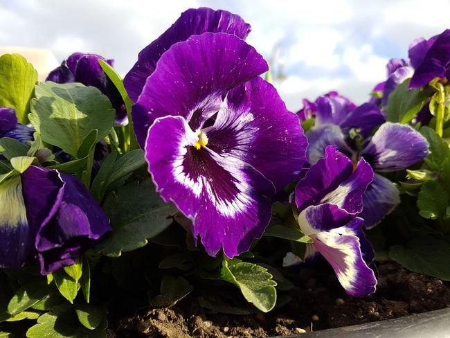 Flower Purple Flower Lila Virág Taken From Smartphone Camera Virag