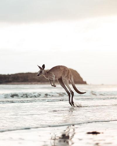 Kangaroo running at seashore against cloudy sky