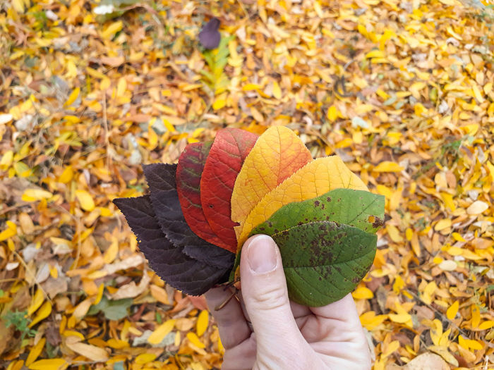Low section of person holding autumn leaves