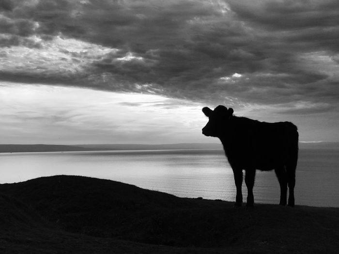 Silhouette Animal Themes One Animal Cow Sunset Silhouette Sunset Silhouettes Nature Cloud - Sky Sky Clouds And Sky Sunset_collection Black And White Black & White Nature Animals In The Wild Animal Wildlife Animal Animals Cows Outdoors Nature_collection Nature Photography Outdoor Photography Domestic Animals