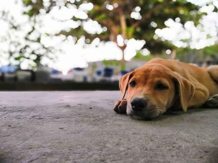 Dogz Beagle