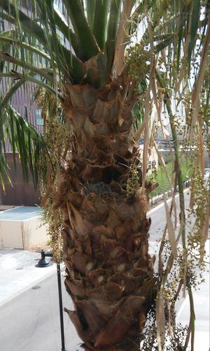 Twin Baby Truttledoves In Plam Tree