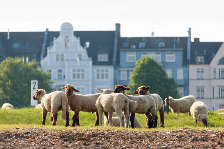 Düsseldorf, Germany, Animal Deutschland Düsseldorf Germany Gras  Grass NRW Schafe Sheep Tiere Wiese
