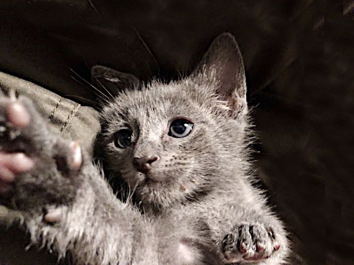 Tranquil Relaxing Cat Relaxed Cat Greycat Orphan Kitten Fosterkitten One Animal Mammal Cat Pets Feline Domestic Animals Looking At Camera Domestic Animal Body Part Domestic Cat Animal Eye No People Whisker Close-up Portrait Vertebrate