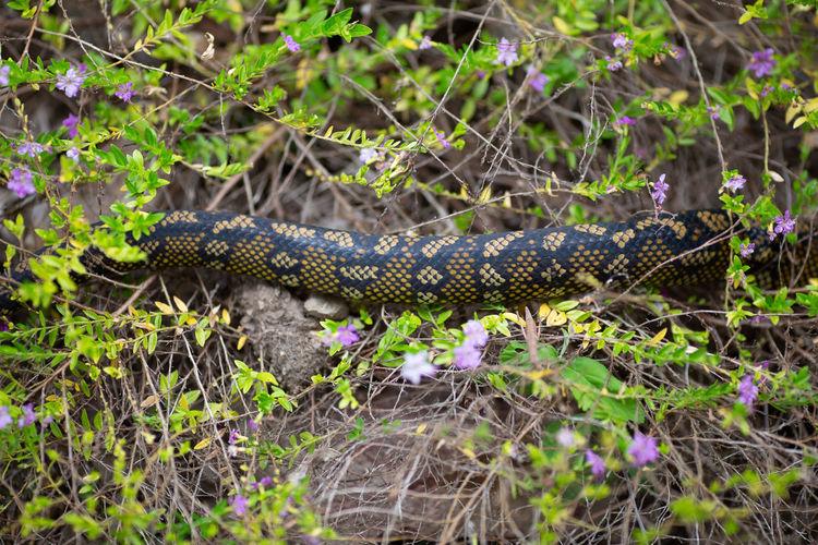 wild python in