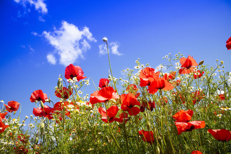 Plant Flower Flowering Plant Growth Beauty In Nature Sky Red Freshness Vulnerability  Nature Fragility Poppy Blue Petal No People Land Low Angle View Day Close-up Field Flower Head Outdoors Orange