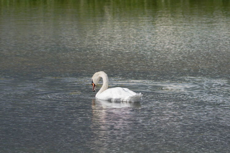 Mute Swan in a quite lake. Mute Swan Mute Swans Animal Themes Animal Wildlife Animals In The Wild Beauty In Nature Bird Day Lake Lake View Nature No People One Animal Outdoors Swan Swan In Lake Swimming Water Water Bird