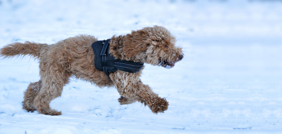 Cockapoo Dog Running Dog In Snow Animal Themes Cold Temperature Day Dog Dog In The Snow Dog Running In The Snow Domestic Animals Full Length Mammal Nature No People One Animal Outdoors Pet Collar Pets Snow Winter