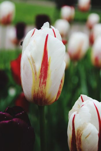 Close-up of white tulip flower on field