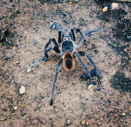 Spider Tarantula Wildlife Wildlife & Nature UaU Help