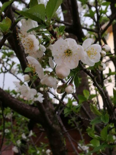 Fiori Di Ciliegio Flower Head Tree Flower Branch Springtime White Color Close-up Plant