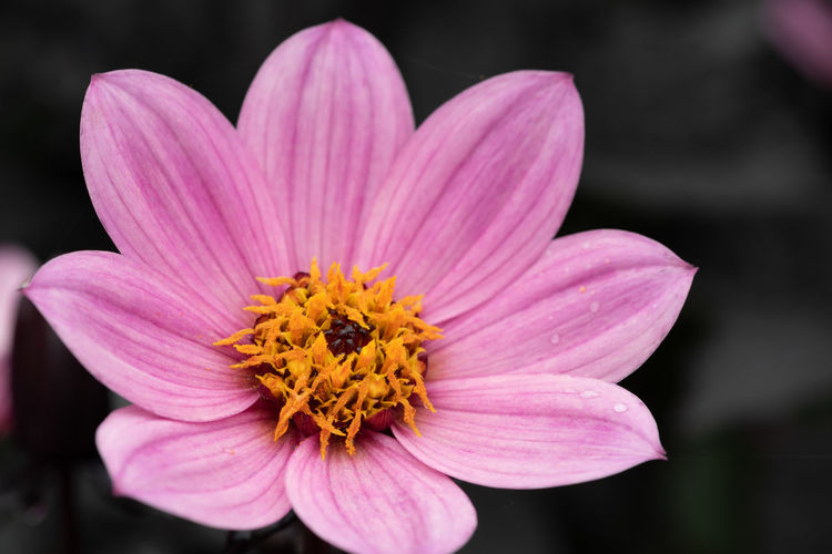 Close up of a pink dahlia with a grey background