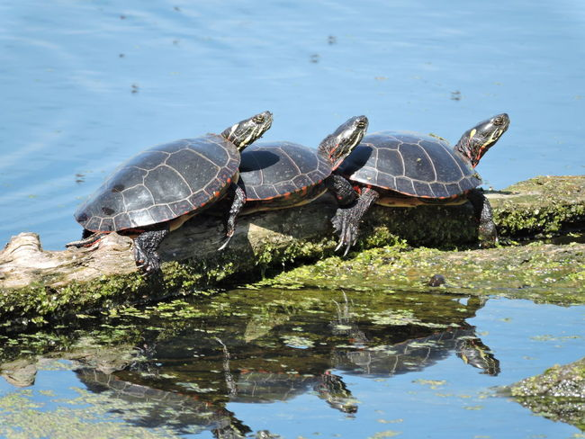 Animal Themes Animal Wildlife Animals In The Wild Beauty In Nature Day Lake Nature No People Outdoors Reptile Tortoise Tortoise Shell Tree Turtle Turtles Sunning Water Waterfront