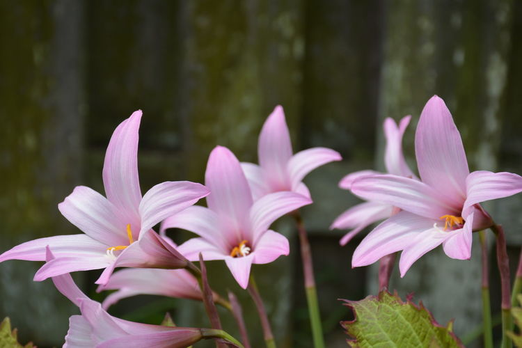 pink rain lilies Lilies Rain Lily Pink Flowers EyeEm Selects Flower Head Flower Pink Color Petal Botanical Garden Purple Close-up Plant Flowering Plant In Bloom Botany Blossom Blooming Focus
