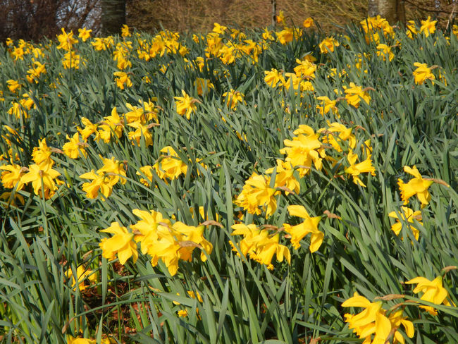 Abundance Cheer Up Daffodils Flower Flowerbed Green And Yellow  Outdoors Spring Flowers Springtime Sunny Day Yellow