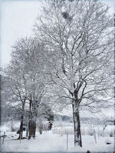 Winter maples ❄️❄️❄️ EyeEm Best Shots Vackra Dalarna Tadaa Community EyeEm Nature Lover Trees