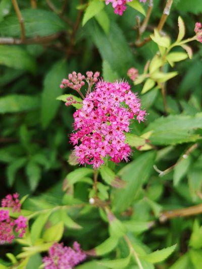 Flower Head Flower Peony  Pink Color Multi Colored Plant Part Purple Nature Reserve Close-up Plant Stamen