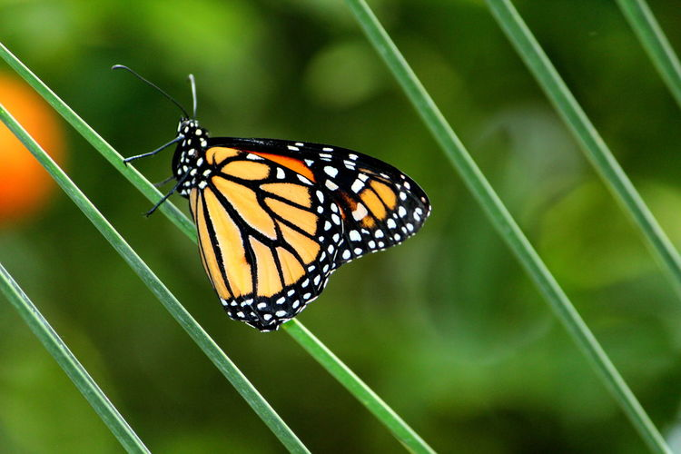 Animal Animal Markings Animal Themes Animal Wildlife Animal Wing Animals In The Wild Beauty In Nature Butterfly Butterfly - Insect Close-up Day Focus On Foreground Fragility Green Color Insect Invertebrate Nature No People One Animal Outdoors Plant Vulnerability