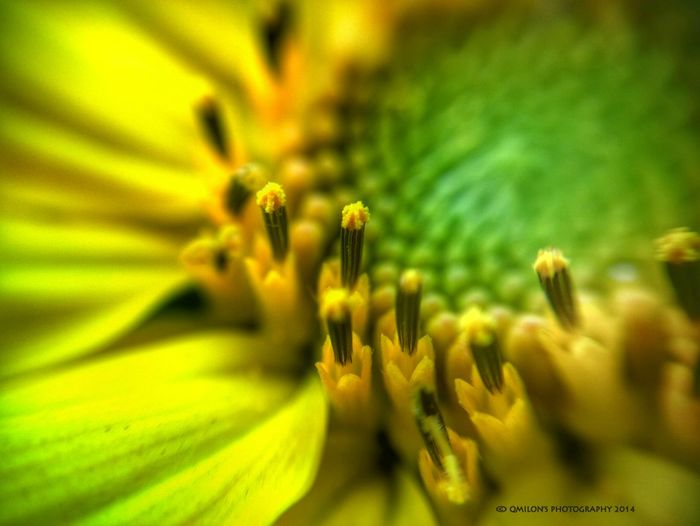 Macroclique Sunflower Flower Collection Macro Photography