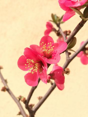 Millennial Pink Flower Flower Head Beauty In Nature Nature Plant Freshness Growth Petal Pink Color Blossom Chaenomeles Pink Chaenomeles Japonica Beauty In Nature EyeEmNewHere