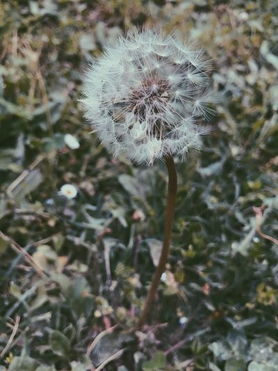 Flower Dandelion Fragility Growth Nature Softness Wildflower Focus On Foreground Beauty In Nature Close-up Outdoors No People