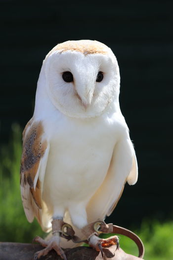 One Animal Close-up Bird Of Prey Animal Wildlife Animals In The Wild Falconry Animal Themes Animal Bird White Color No People Perching Front View Looking At Camera Beak Owl Owl Photography Barnowl Barn Owl Hunting Hunter Hunters