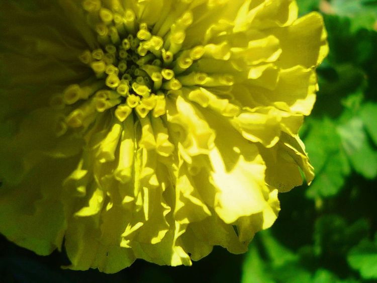 Flower Yellow Beauty In Nature Nature Fragility Close-up Flower Head Freshness Green Color Growth Plant Outdoors Leaf No People Day