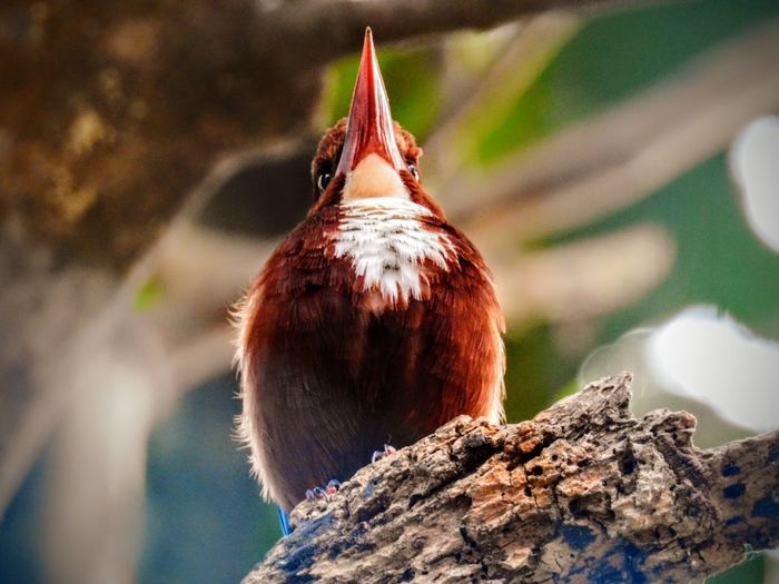 A white throated Kingfisher perched on a branch. Bird One Animal No People Animal Themes Close-up Outdoors Nature India Tree Nature Leaves