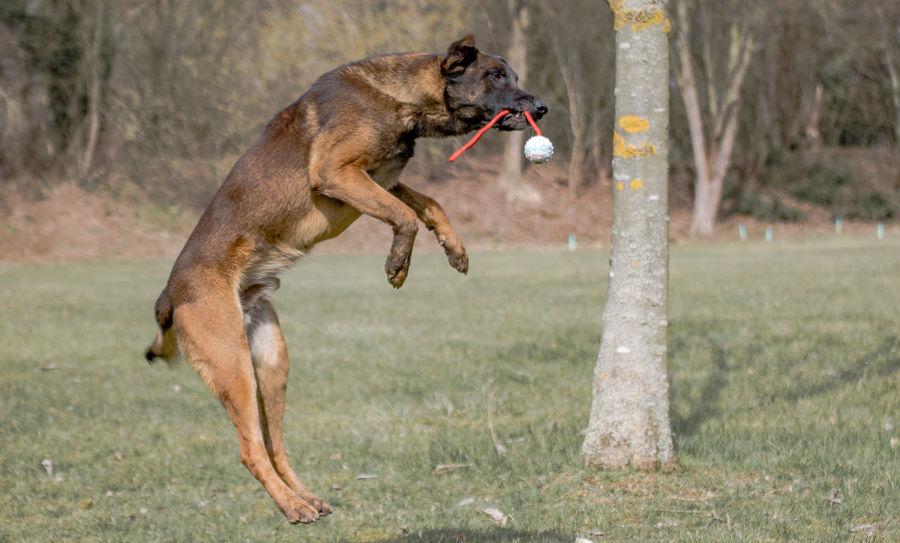Jumper Anton Diensthund Fun Hund Springend Tierfotografie Animal Animal Themes Animalfotography Belgischer Schäferhund Dog Domestic Animals Freude K9 Dogs Malinois Natur No People One Animal Outdoor Pets