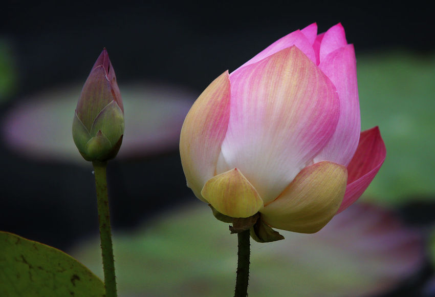Beauty In Nature Bud Close-up Flower Flower Head Flowering Plant Focus On Foreground Fragility Freshness Growth Inflorescence Lotus Water Lily Nature New Life No People Outdoors Petal Pink Color Plant Plant Stem Sepal Vulnerability  Water Lily