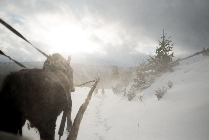 Transcarpathian region. Ukraine Cold Temperature Domestic Animals Horse Outdoors Sky Snow Winter Shades Of Winter
