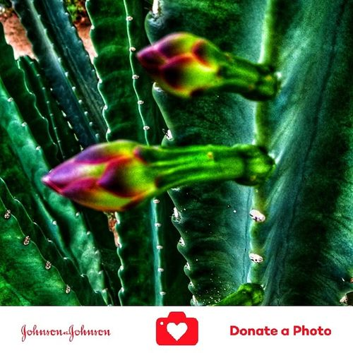 Special effects on a catus flowering plant color inhanced Green Color Growth Close-up No People Nature Day Outdoors Beauty In Nature Johnson And Johnson Donate A Photo Donate J&j To Better Lives Johnson & Johnson Donate To Help Plants Photography Special Effects Collection Color Enhanced Catus Flower Catus Plant Nature Flower Head Growth Flower
