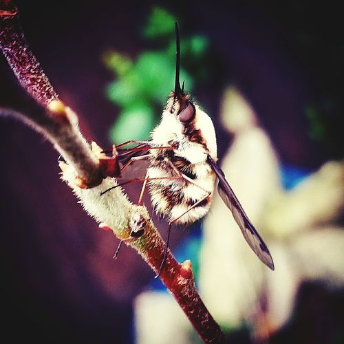 A long nose bee fly i shot last week