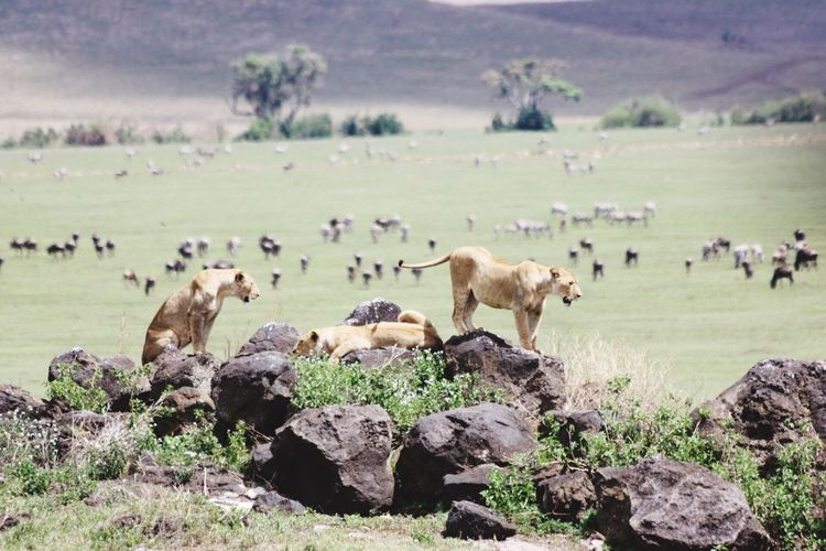 Lion Lionesses Tanzania Ngorongoro Crater Nature Landscape First Eyeem Photo