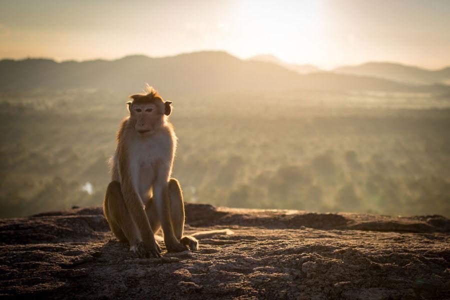 Animal Animal Themes Animal Wildlife Animals In The Wild Beauty In Nature Dambulla Day Full Length Landscape Lion Mammal Monkey Nature No People One Animal Outdoors Pidurangala Rock Sitting SriLanka Sunrise Sunset