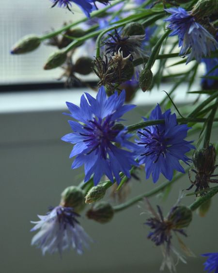 Beautiful Flowers Flower Nature Природа Green васильки цветы букет голубой