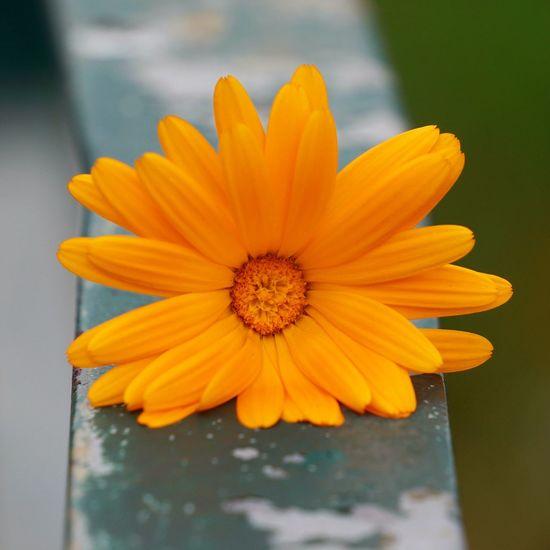 Close-up of orange flower on railing
