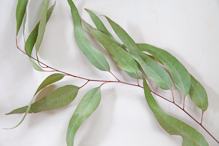 Pale green leaves of a eucalyptus tree with copy space