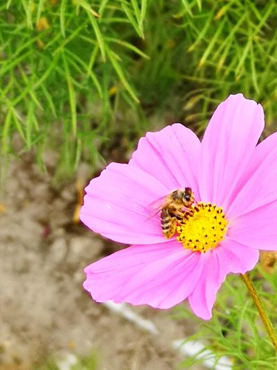 Mrs. Bee Flower Head Flower Perching Bee Pollination Pink Color Insect Petal Uncultivated Close-up Honey Bee 10