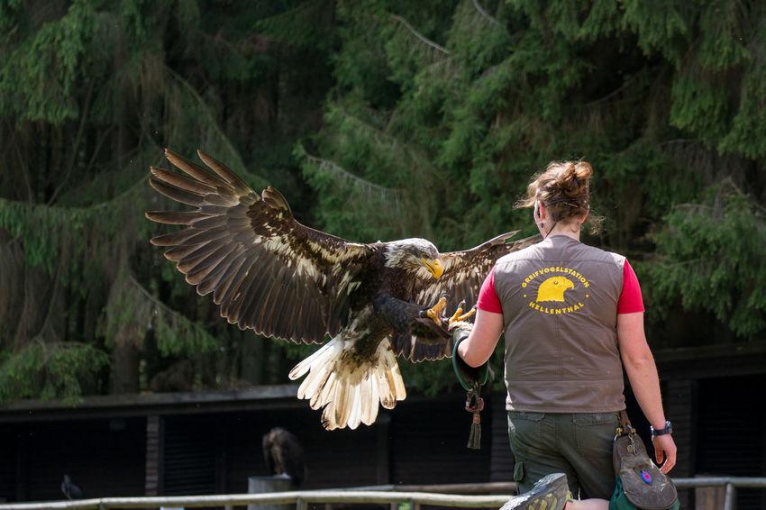 Bird Bird Of Prey Eagle Eagle Landing Greifvogel Hellental One Animal One Person Rear View Spread Wings