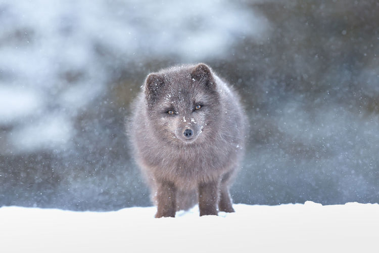 Portrait of fox standing on snow during snowfall