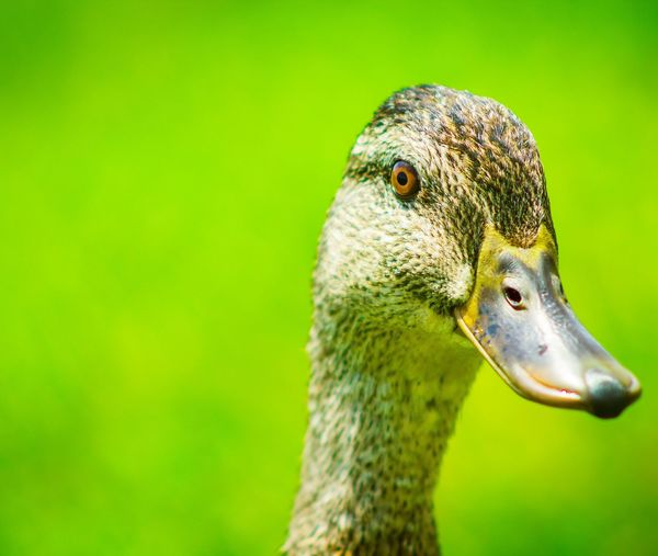 Close Up EyeEm Selects Bird Portrait Beak Colored Background Multi Colored Green Background Close-up Animal Body Part EyeEmNewHere