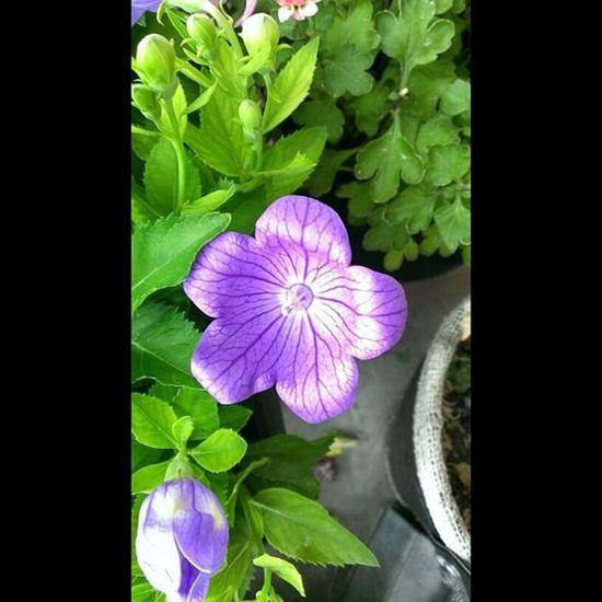 Instasize Flowers Balloonflower Frommygarden nature smartphonephotography