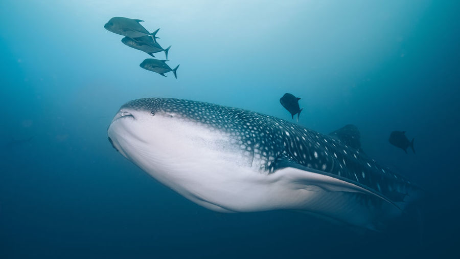 Underwater Sea Animal Wildlife UnderSea Animals In The Wild Animal Animal Themes Water Marine Sea Life Swimming Fish Vertebrate Blue Whale Shark Shark Nature Group Of Animals No People