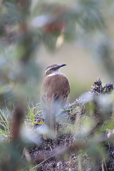 Andes Bird Photography Birdwatching Nature Rucu Pichincha Teleferico Animal Themes Animal Wildlife Animals In The Wild Beauty In Nature Bird Cinclodes Day Fauna Nature No People One Animal Outdoors Perching Selective Focus Southamerica Stout Billed Teleferiqo Shades Of Winter
