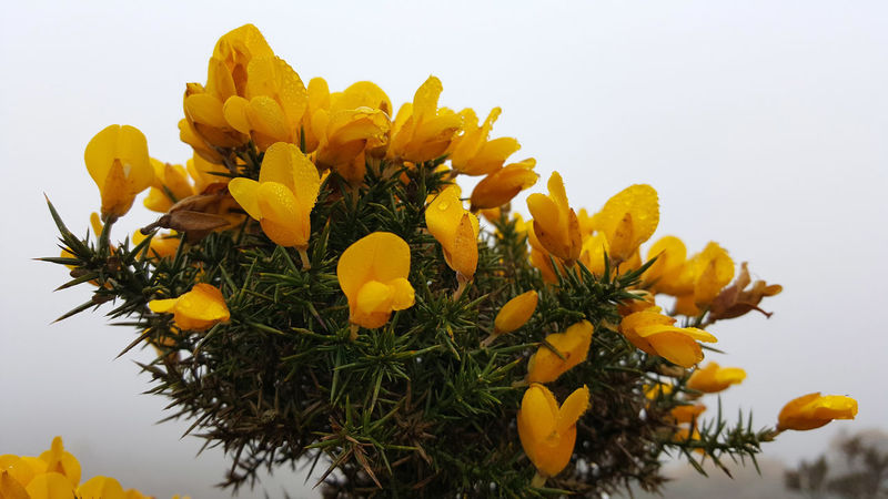 In many parts of Ireland right now (but not here), gorse is burning uncontrollably. Blooming Close-up Day Flower Gorse Gorse Bush Gorse Flowers Growth Outdoors Sky Yellow Yellow Flowers