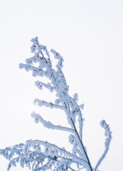 Close-up of snow covered plant against clear sky