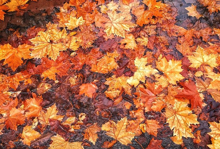 High angle view of maple leaves on tree during autumn