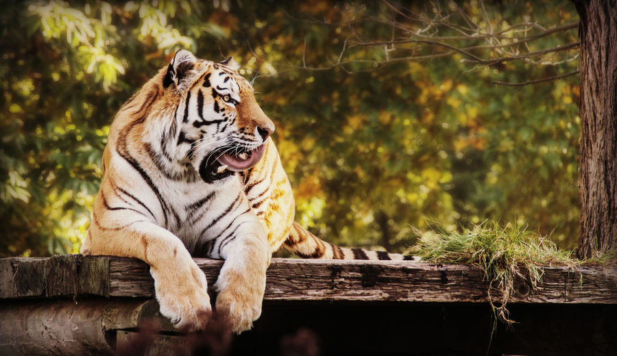 Tiger sitting on wooden structure in zoo